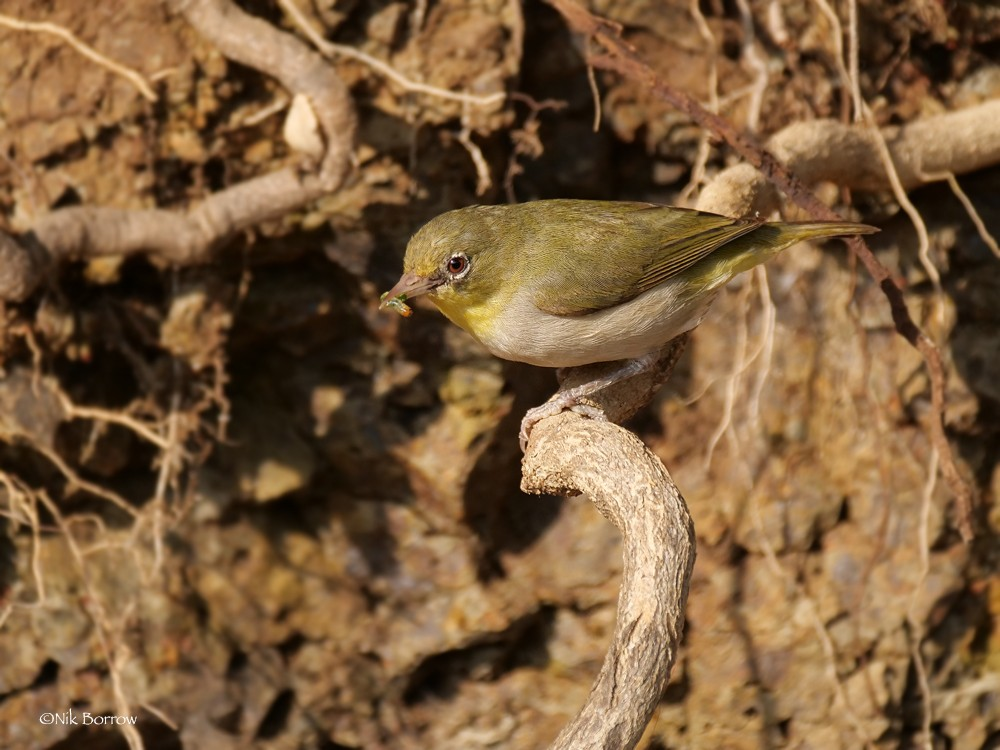 Abyssinian White-eye nominate race