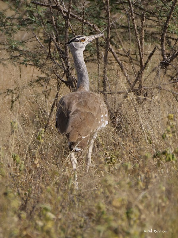 Arabian Bustard nominate race