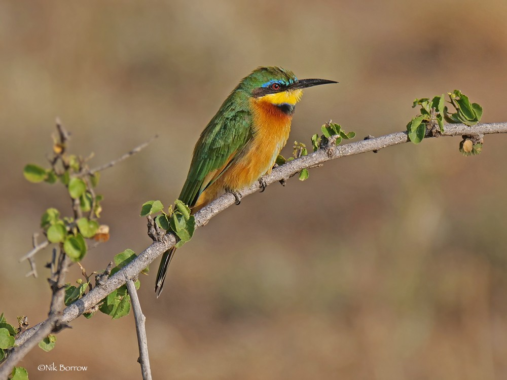 Little Bee-eater race cyanostictus