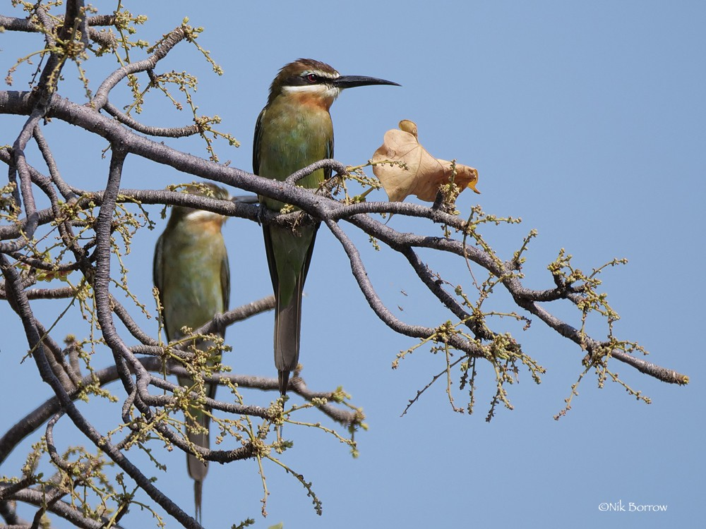 Olive Bee-eater nominate race