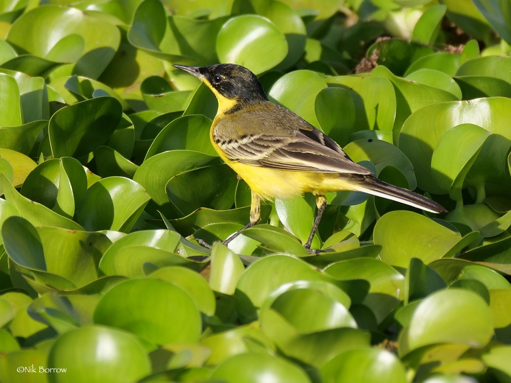 Black-headed Wagtail race feldegg