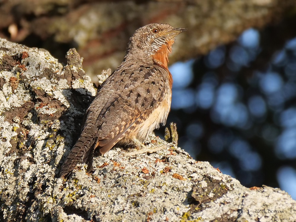 Red-throated Wryneck race aequatorialis