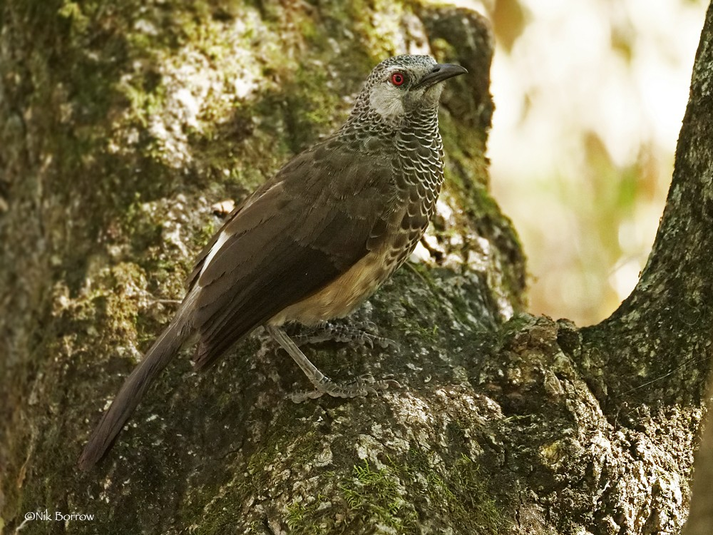 White-rumped Babbler race lacuum