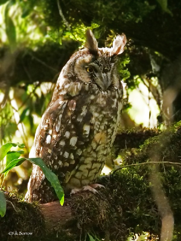 Abyssinian Owl nominate race