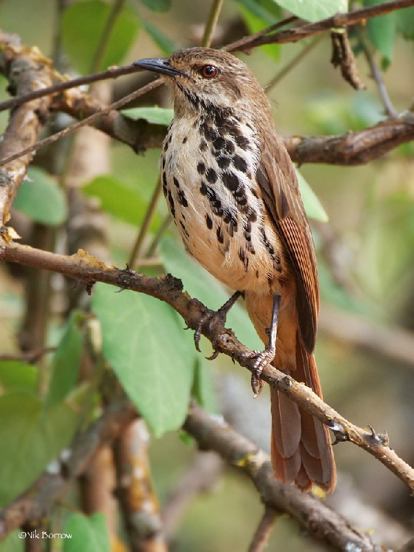 Spotted Palm Thrush race intercalans