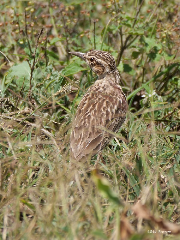 Short-tailed Lark race megaensis