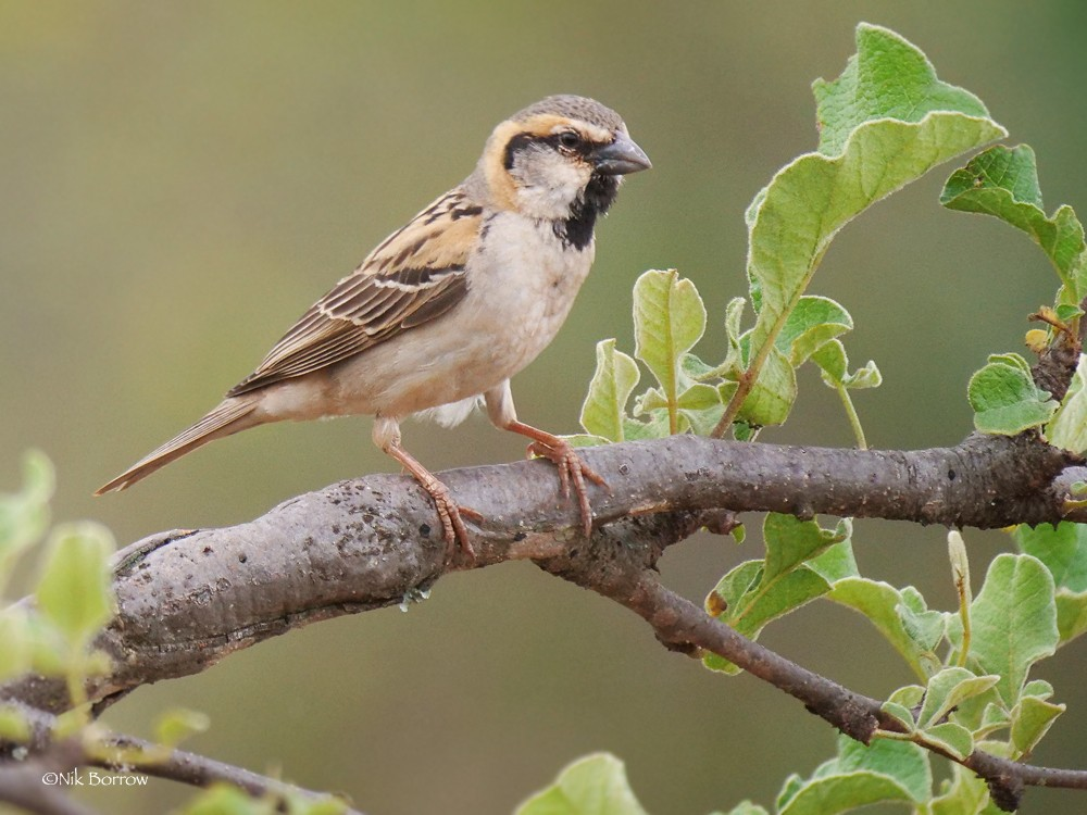 Shelley's Sparrow