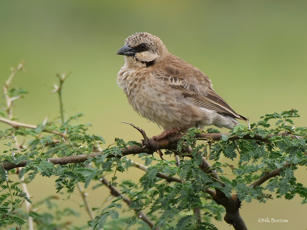 Donaldson Smith's Sparrow-Weaver