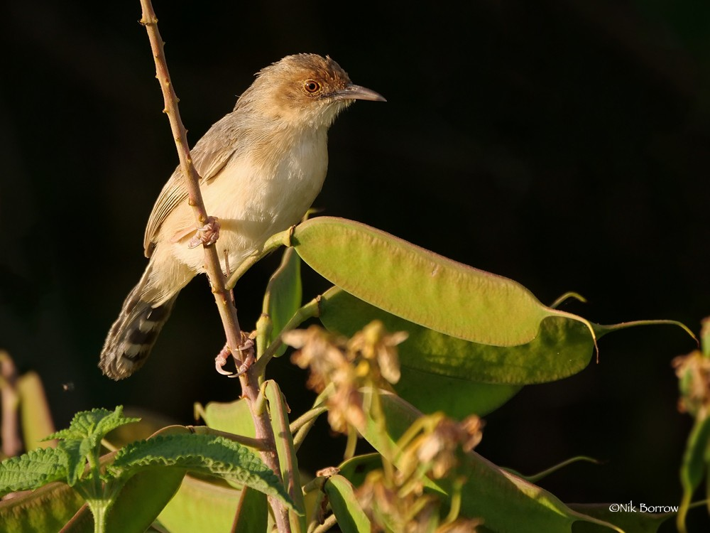 Red-faced Cisticola race pyrrhomitra