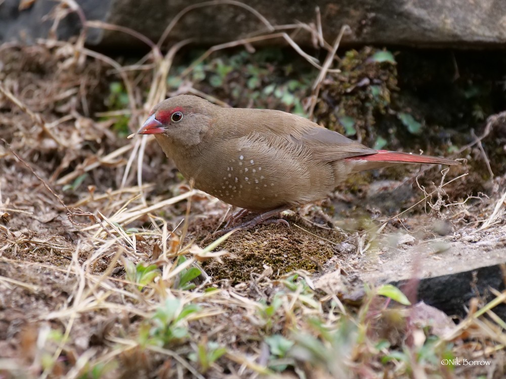 Red-billed Firefinch race rhodopsis