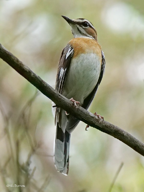 Bearded Scrub Robin nominate race
