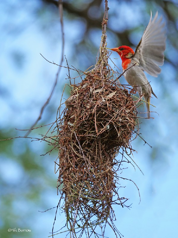 Red-headed Weaver nominate race