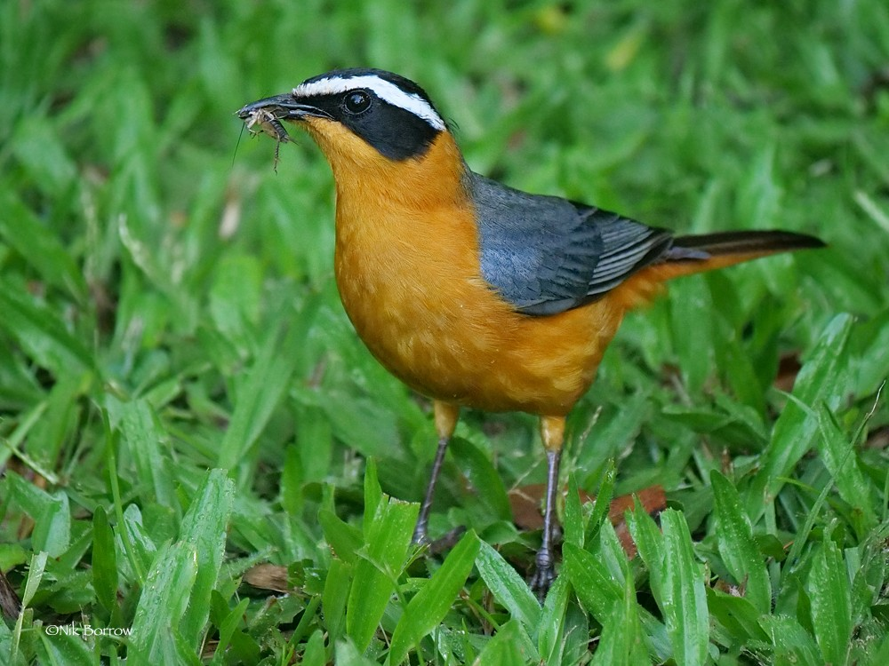 White-browed Robin-Chat nominate race