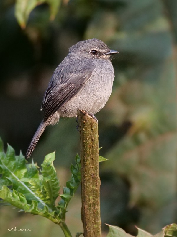 Dusky-blue Flycatcher nominate race