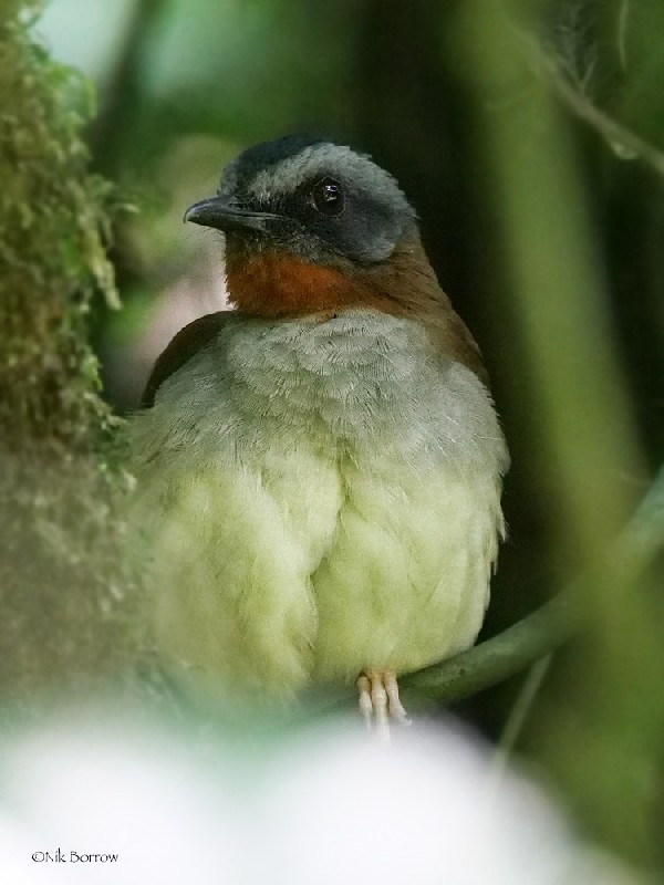 Red-throated Alethe nominate race