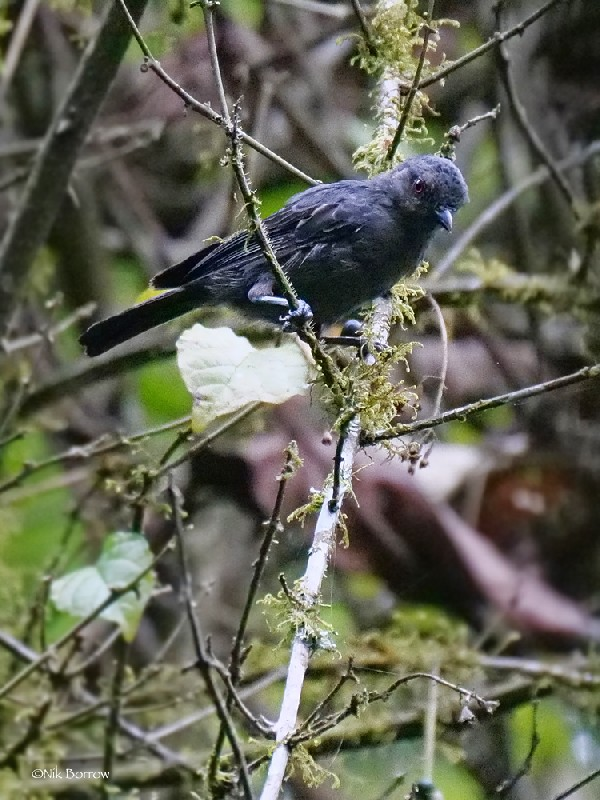 Dusky Tit nominate race