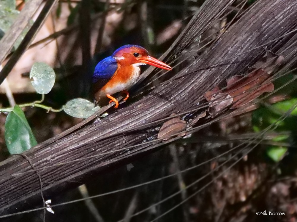White-bellied Kingfisher race bowdleri