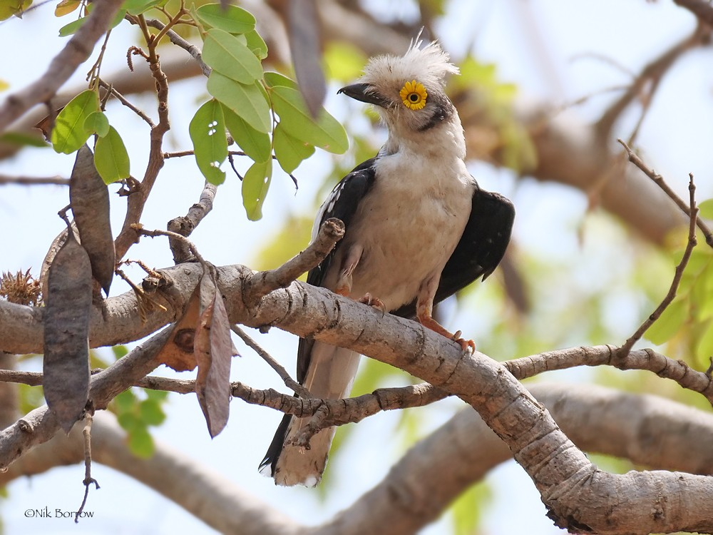 White-crested Helmetshrike nominate race