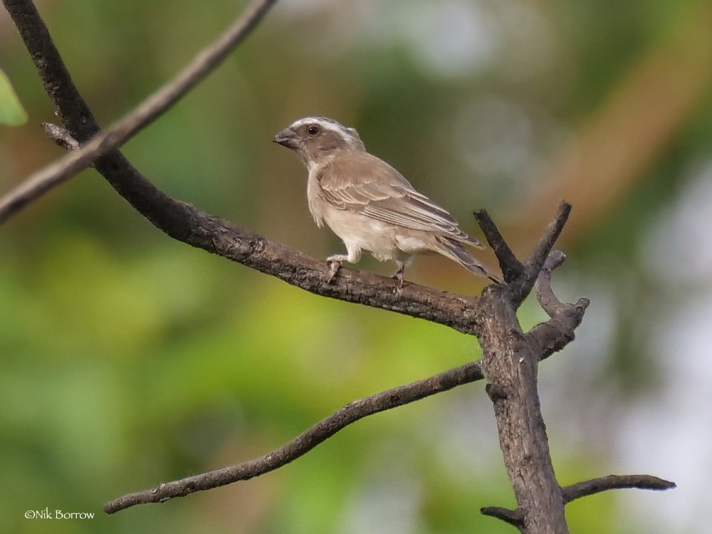 West African Seedeater nominate race