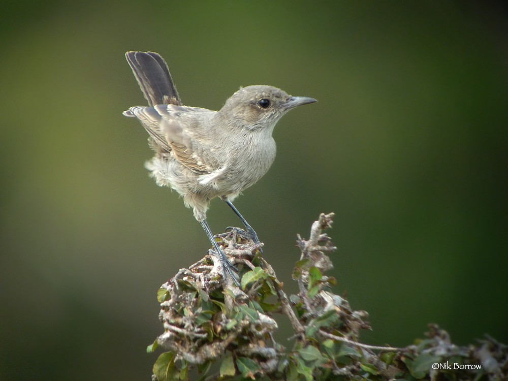 Brown-tailed Rock Chat race spectatrix sometimes split as Pale Rock Chat