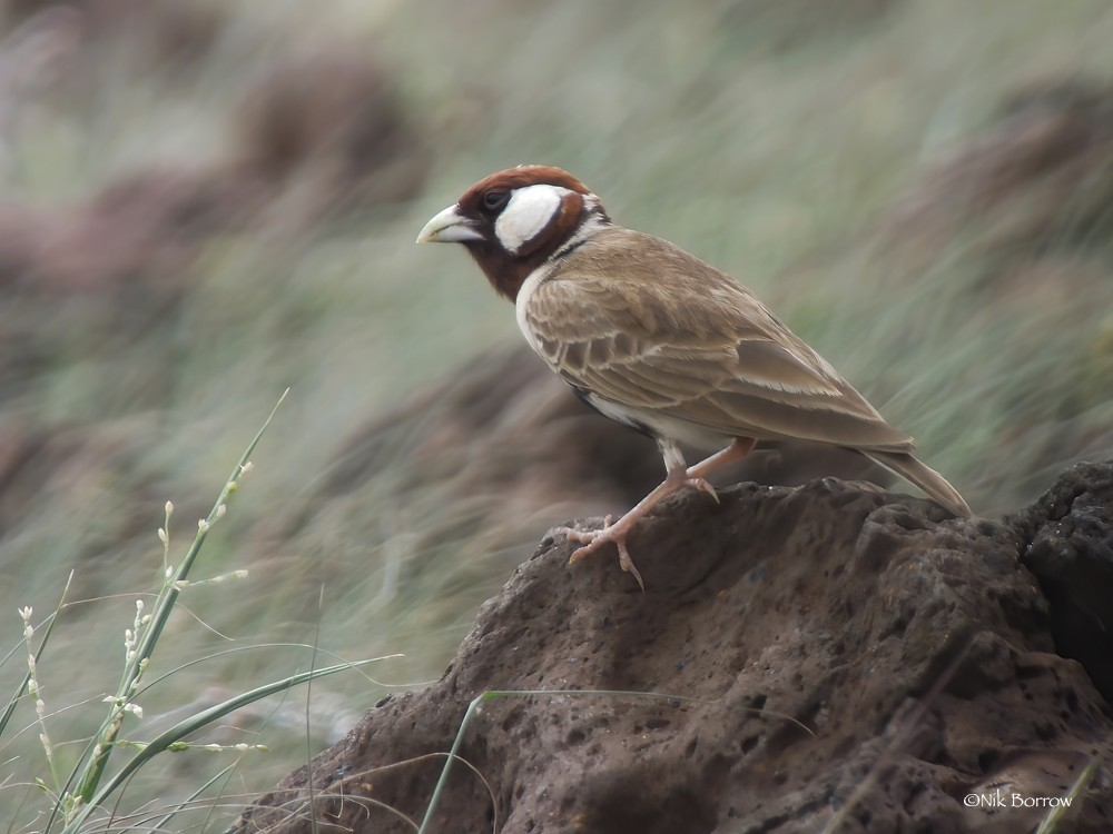 Chestnut-headed Sparrow-Lark  nominate race