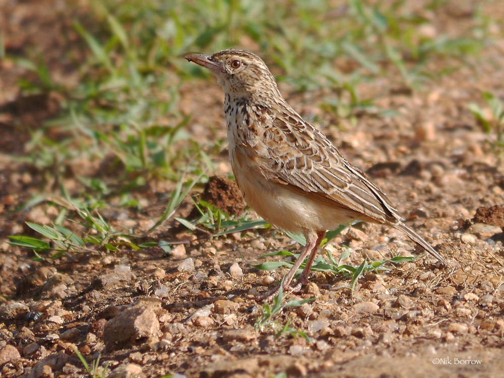 Red-winged Lark race kidepoensis