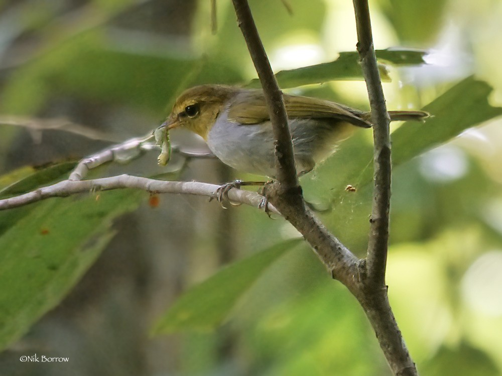 Yellow-throated Woodland Warbler ssp. minullus