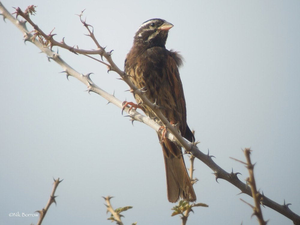 Striolated Bunting nominate race