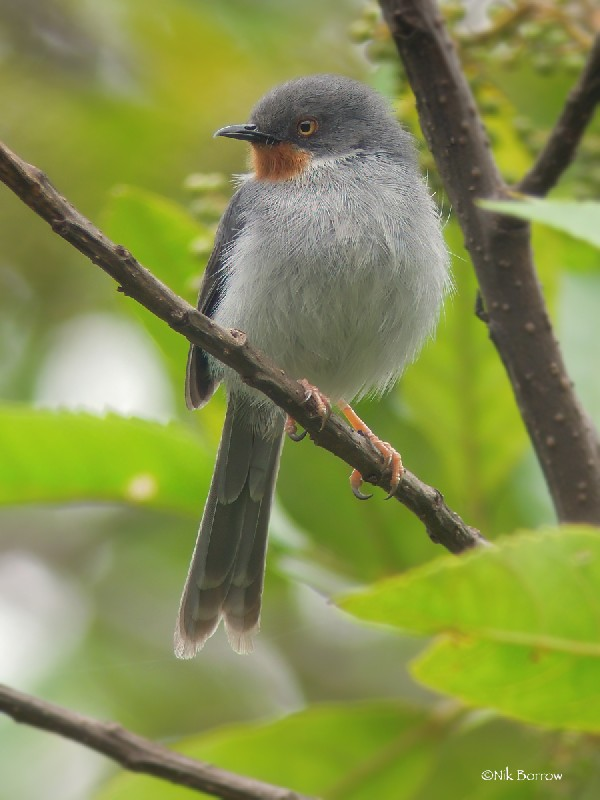 Chestnut-throated Apalis