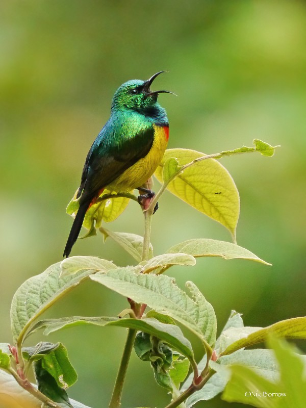 Regal Sunbird nominate race