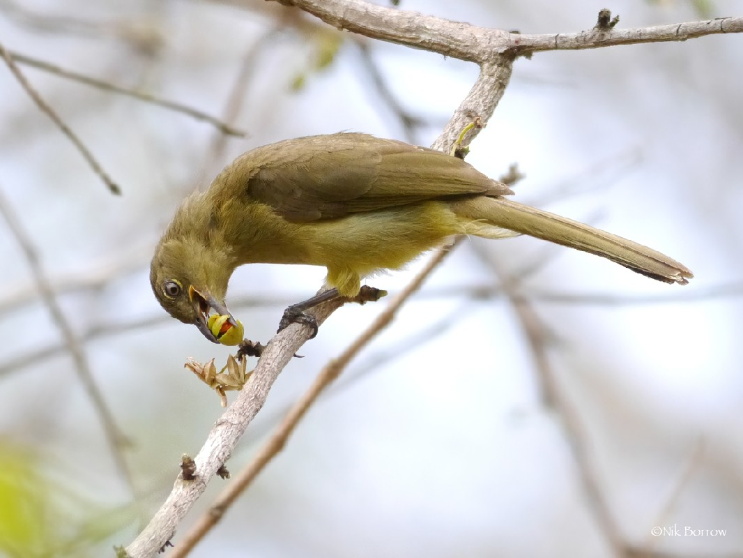 Yellow-bellied Greenbul ssp. centralis