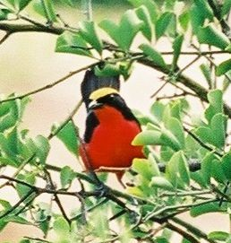 Yellow-crowned Gonolek