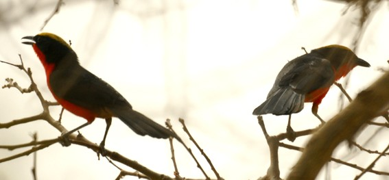 yellow-crowned gonolek couple