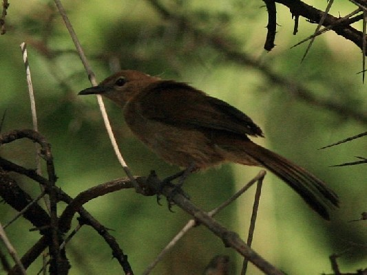 Northern Brownbul
