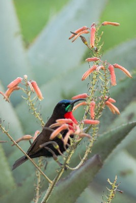 Scarlet-chested Sunbird in Aloe