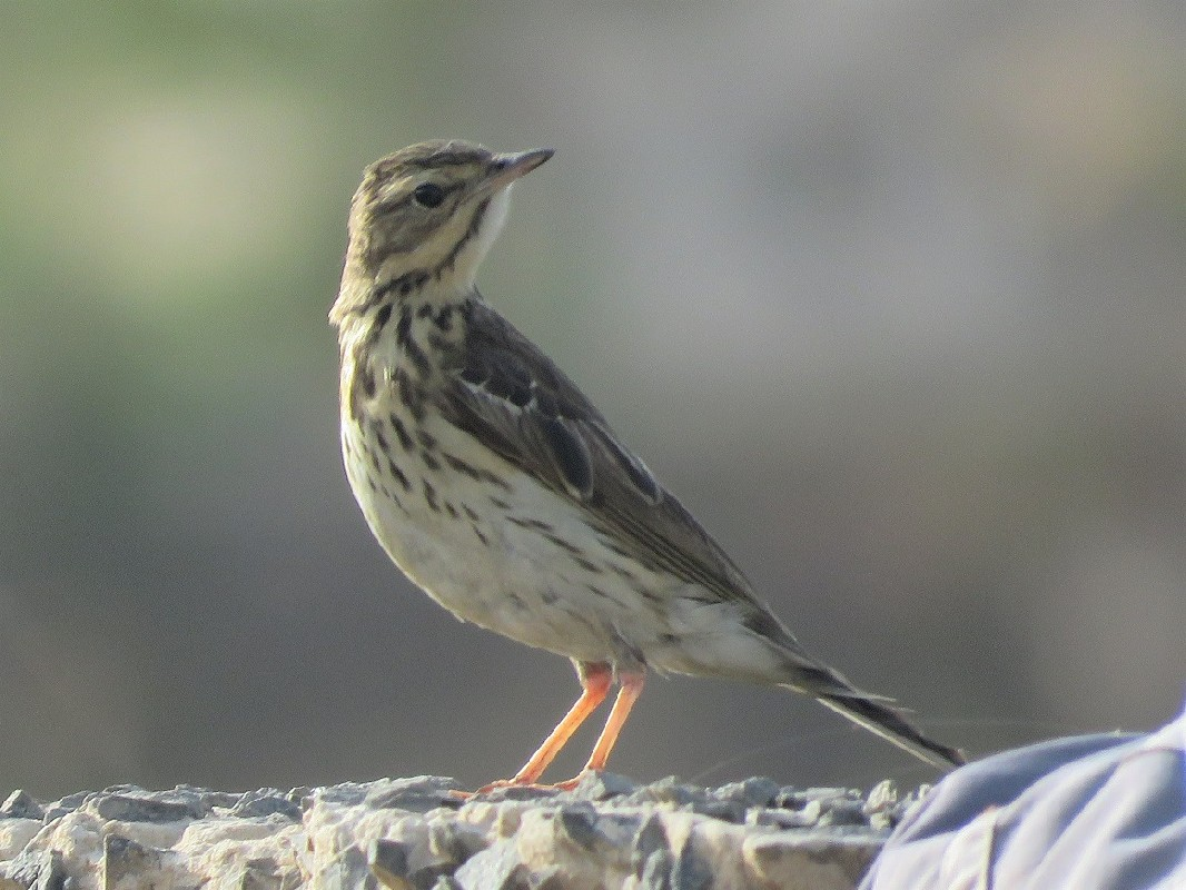 Tree Pipit at Technopole, Dakar
