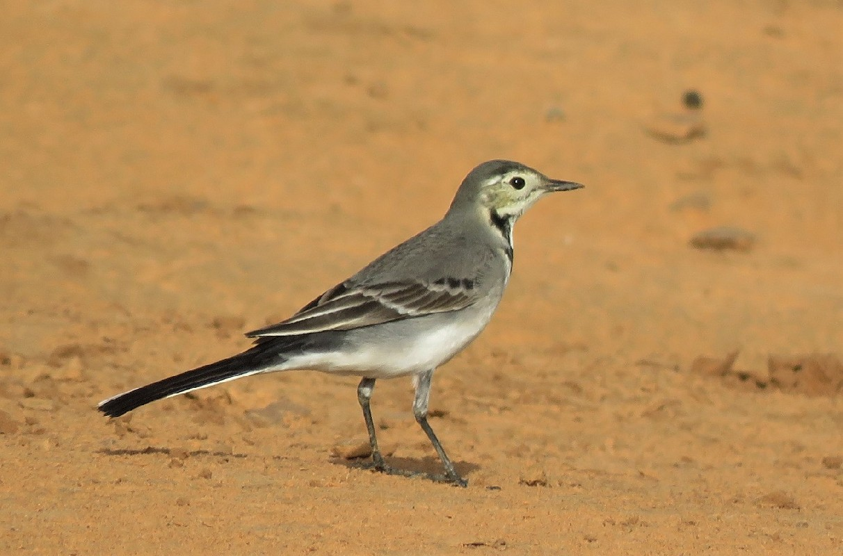 White Wagtail on banks of the Doué river
