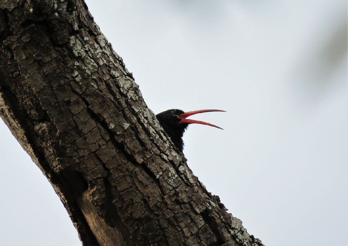 Green Wood Hoopoe at Sangako forest, Toubacouta