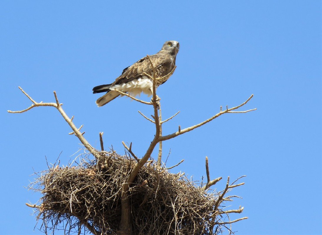 Short-toed Snake Eagle on top of a baobab (with White-billed Buffalo Weaver nest)