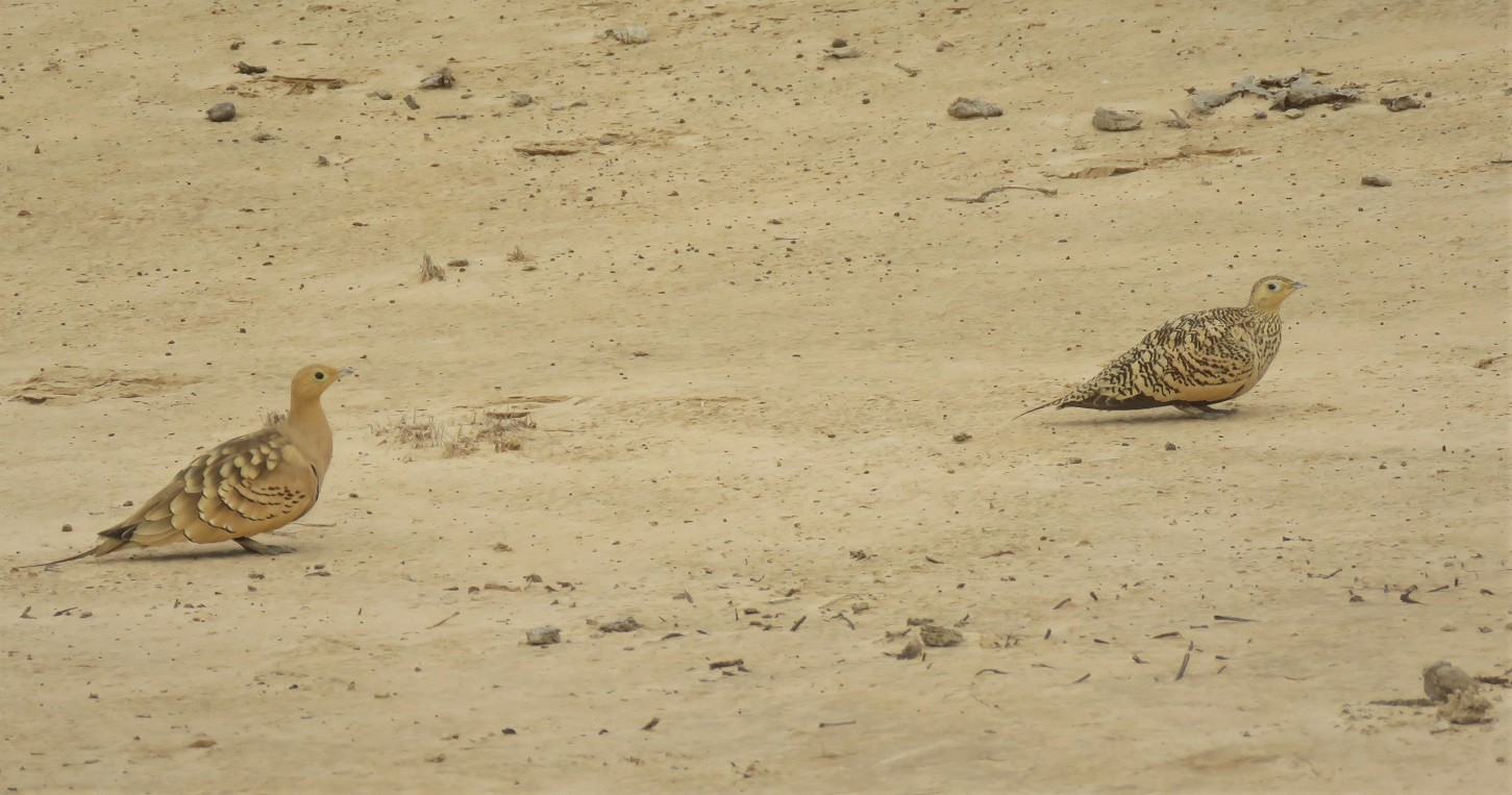 Chestnut-bellied Sandgrouse in Ndiael reserve