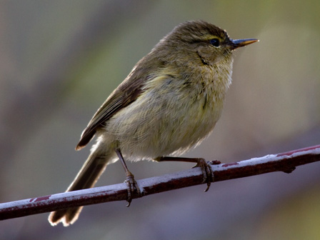 Canary_Islands_Chiffchaff