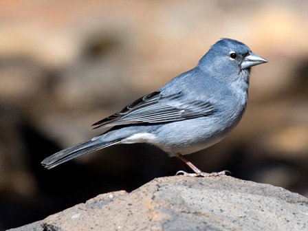 Blue_Chaffinch_Canary_Islands