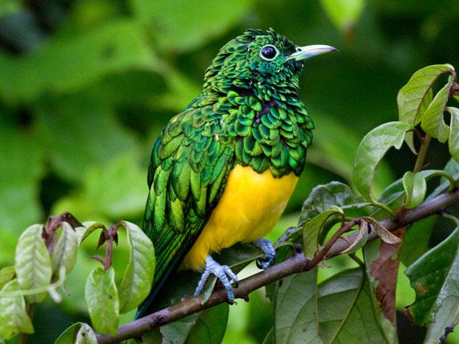 African_Emerald_Cuckoo_Ghana