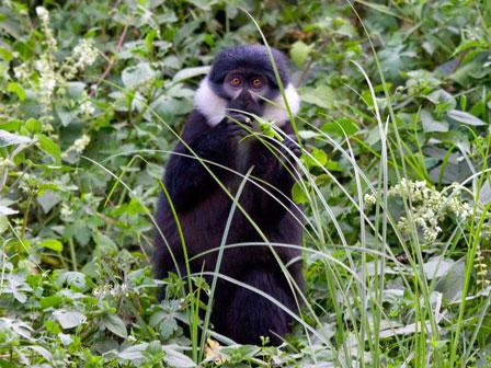 L'Hoest's_Monkey