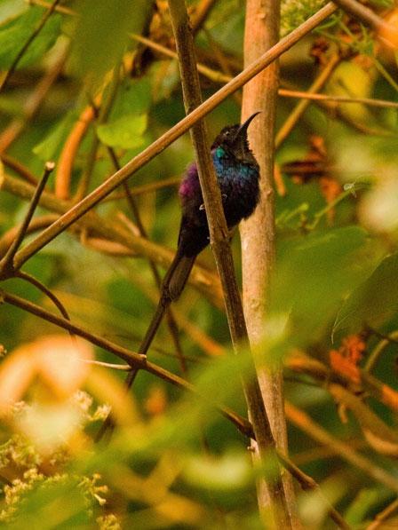 Purple_breasted_Sunbird_Rwanda