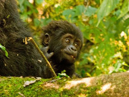 Mountain_Gorilla_baby_Bwindi_Uganda