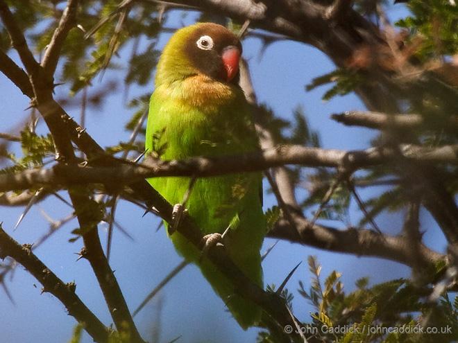 Black_cheeked_Lovebird_Zambia