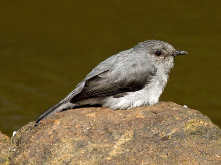 Cassins_Flycatcher_Kibale_Uganda