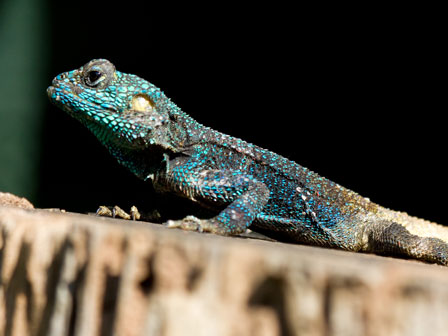 Lizard_Mabira_Forest_Uganda