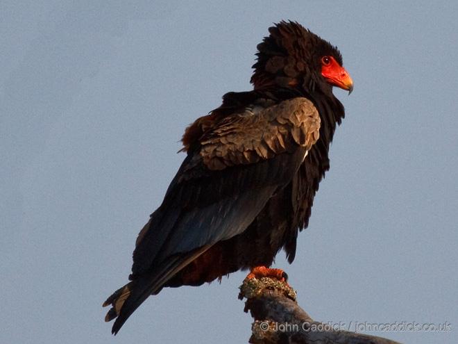 Bateleur_Zambia